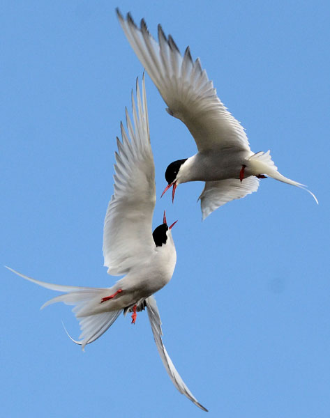 2013-10-06-Arctic-Terns-bat.jpg